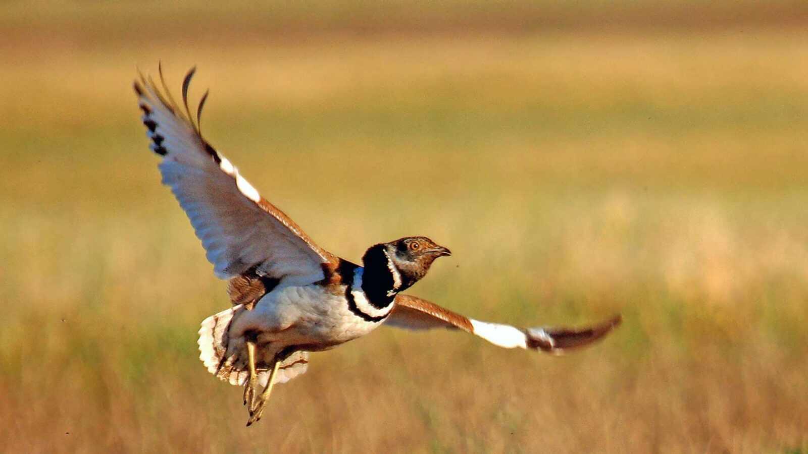 strepet-ptica